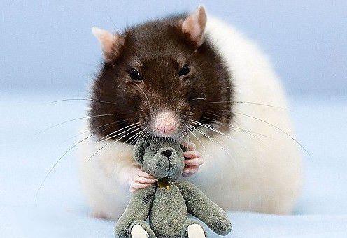 网红老鼠bug.jpg